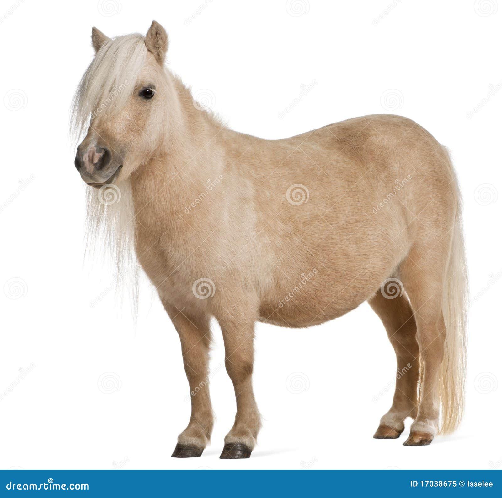Palomino Shetland pony, Equus caballus