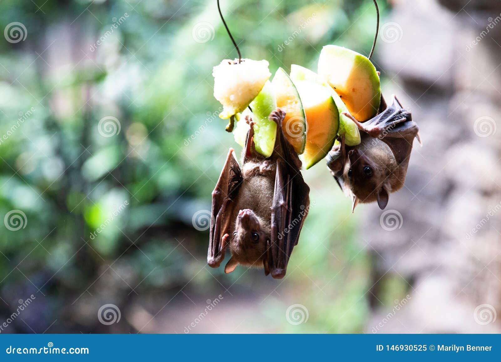 Palos de fruta que comen en la fruta en el parque zoológico