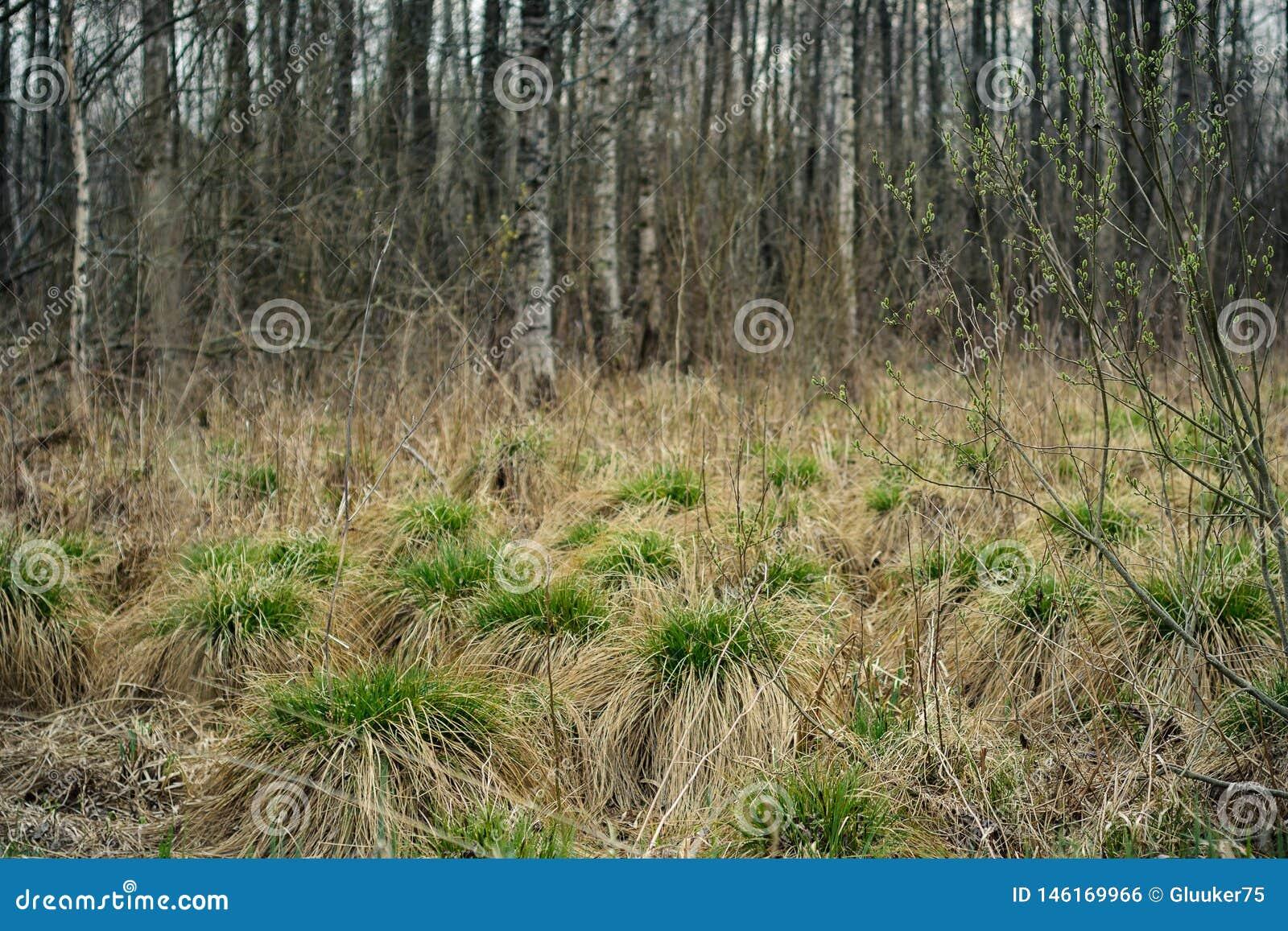 Palude inaridita della molla collinette asciutte con i pettini di giovane erba verde contro lo sfondo del boschetto della betulla