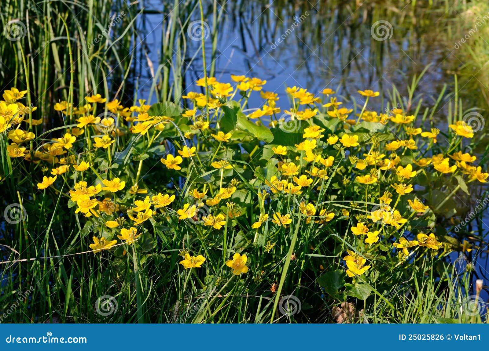 Palustris för caltharingblommamarsh