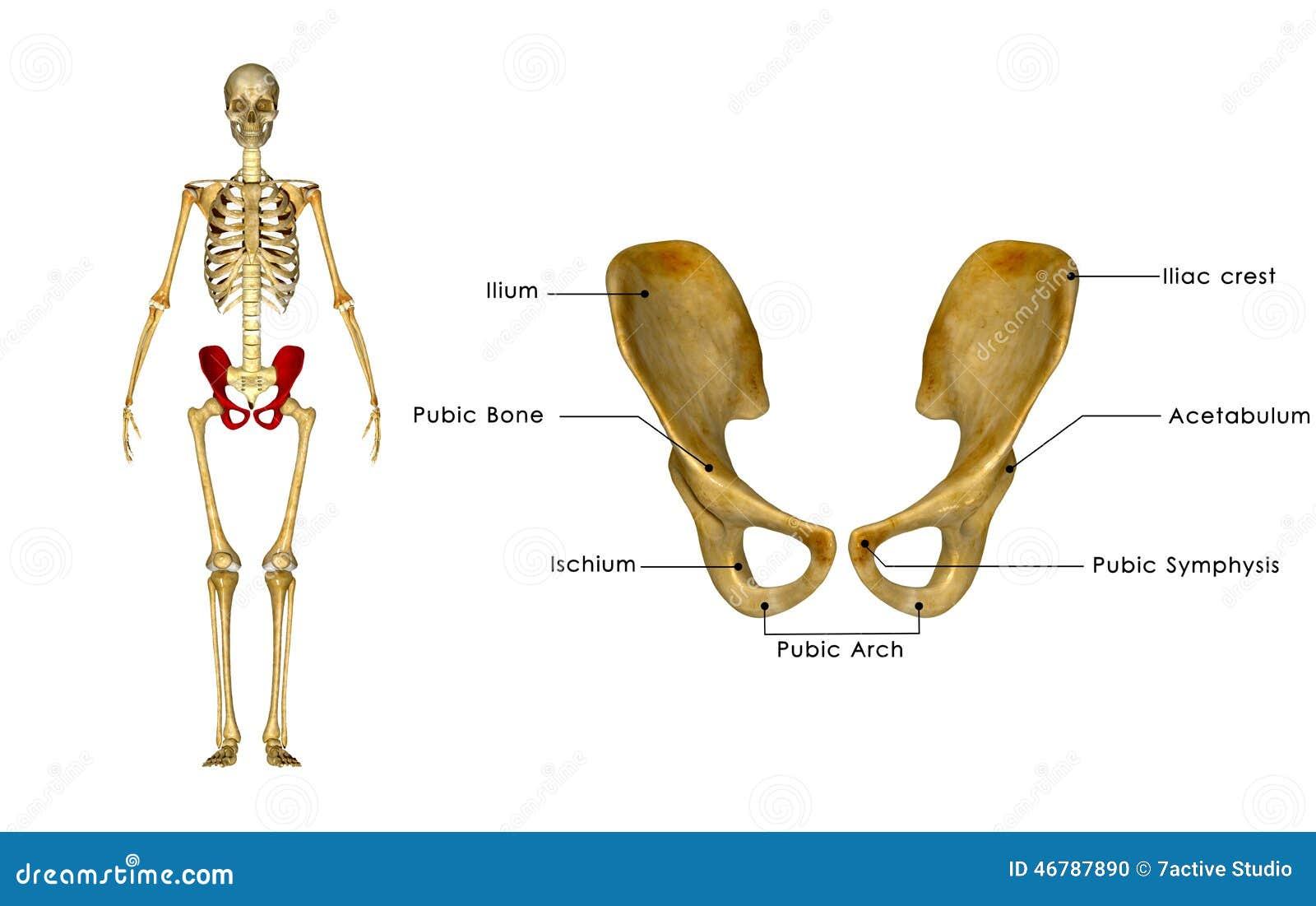 Fantastisch Skelett Hüfte Zeitgenössisch - Anatomie Und Physiologie ...