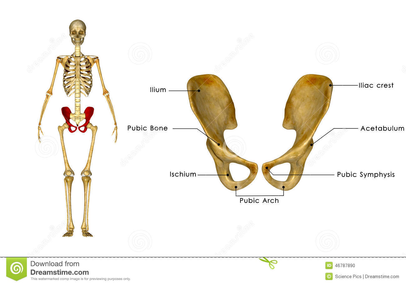 Palvic Hip Girdle Stock Illustration Illustration Of Human 46787890
