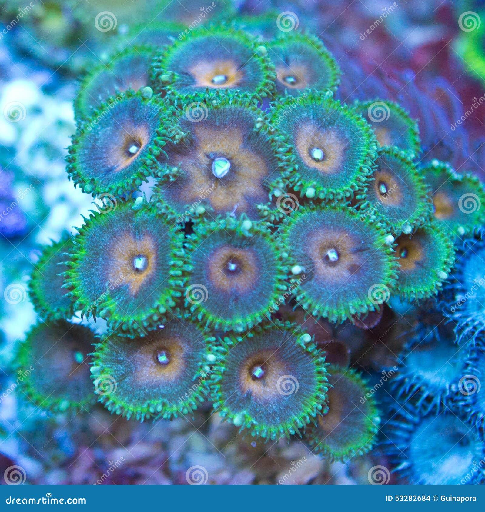 Palythoa polyps