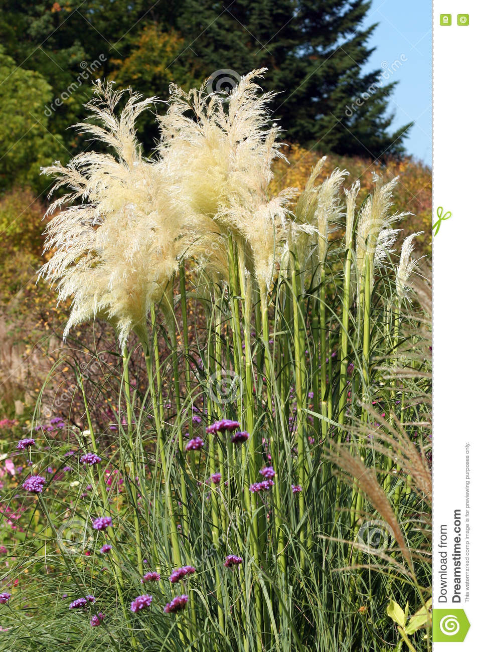 Pampas grass blooms stock image image of selloana for Ornamental grasses that bloom