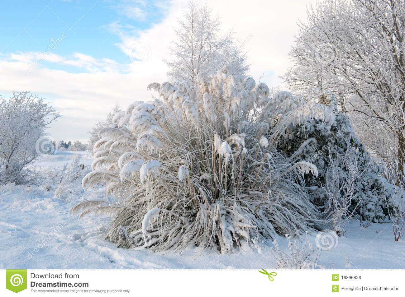pampas grass in the winter royalty free stock image. Black Bedroom Furniture Sets. Home Design Ideas