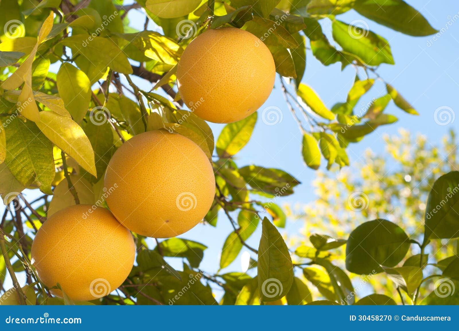 Pamplemousse trois sur un arbre en californie du sud en hiver photo stock image 30458270 - Pamplemousse amer ou acide ...