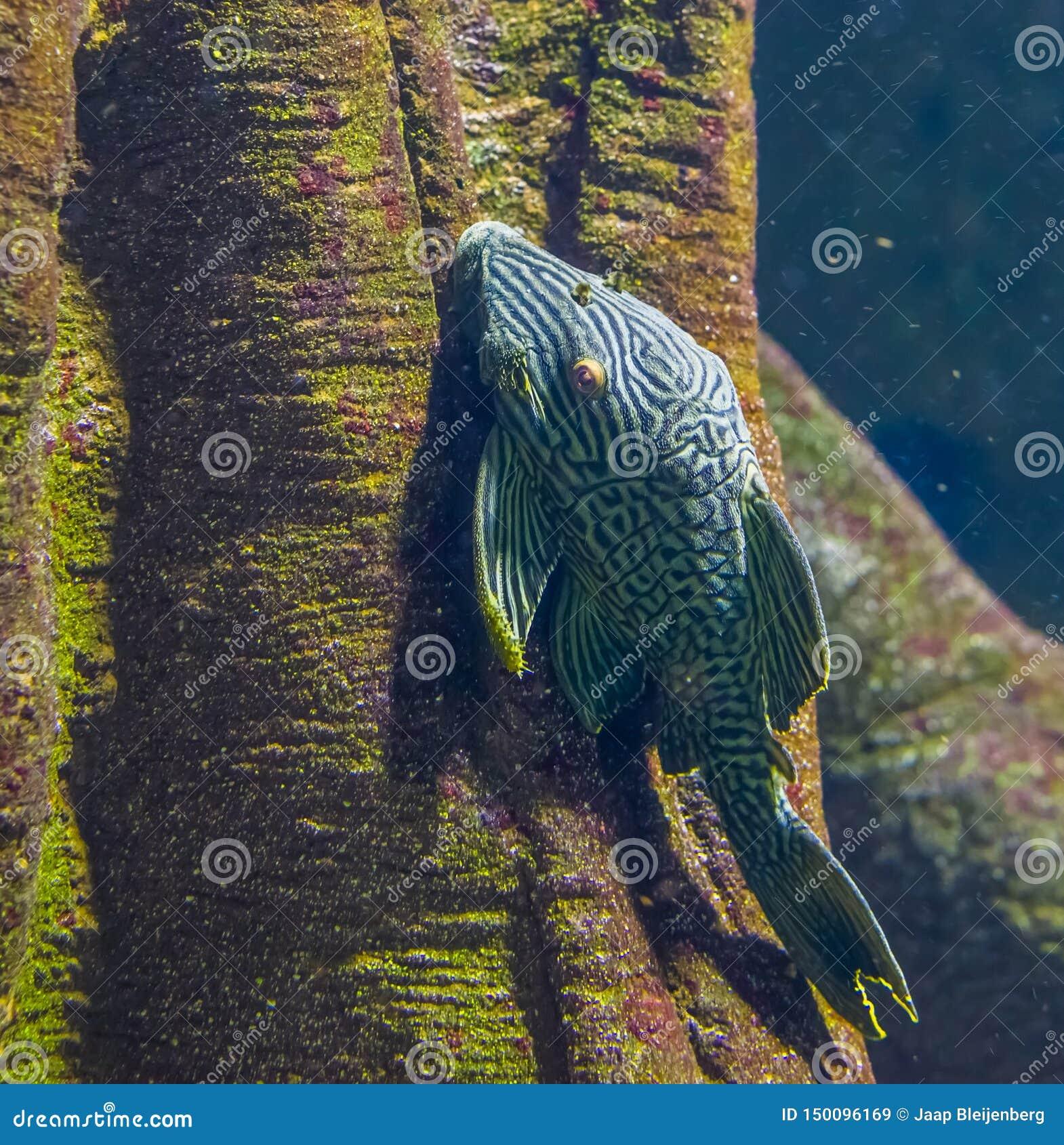 Panaque reale in primo piano, pesce gatto popolare in acquacoltura, pesce tropicale del suckermouth dal bacino di Amazon dell Ame