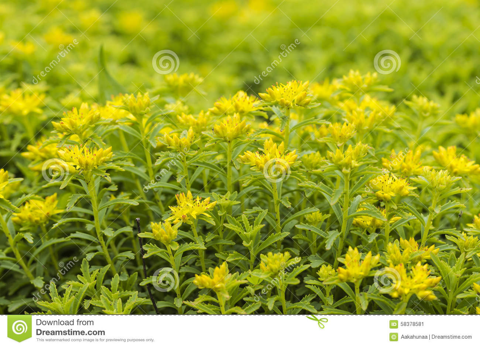 Panax Sedum Flowers In Full Bloom Stock Image Image Of Panax