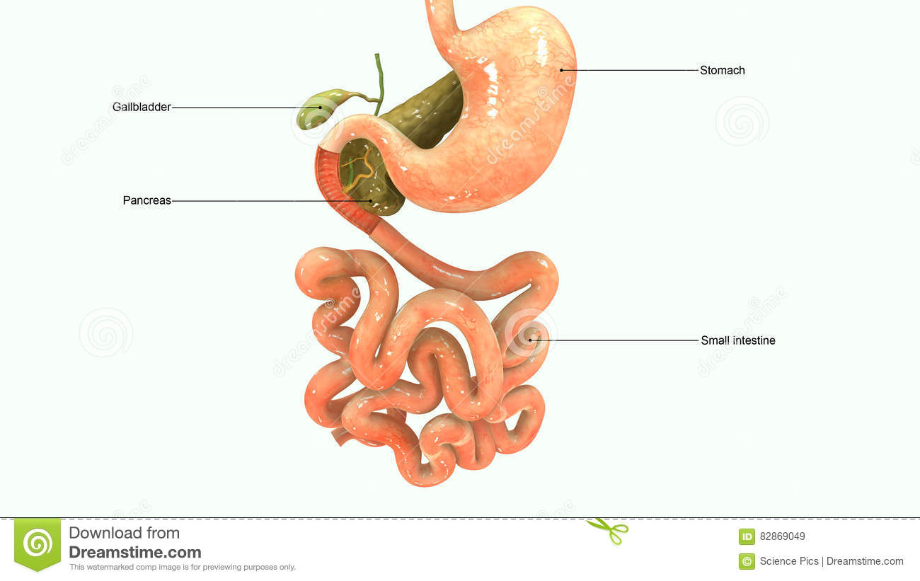 Pancreas Stock Illustration Illustration Of Gallbladder 82869049