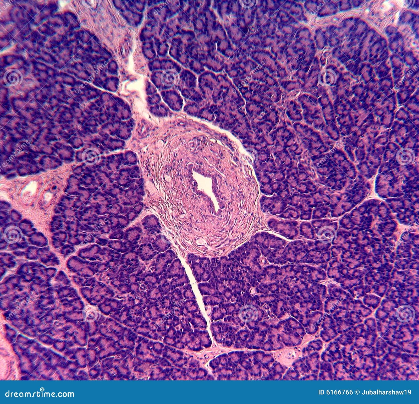 celula pancreatica