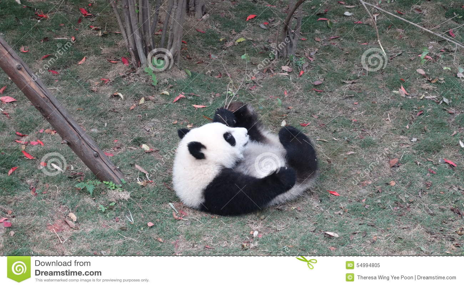 Panda μωρών Sichuan Panda στην επιφύλαξη