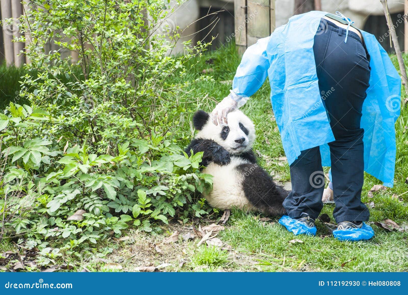 Panda Bear Cub med sjuksköterskan, Panda Research Center Chengdu, Kina