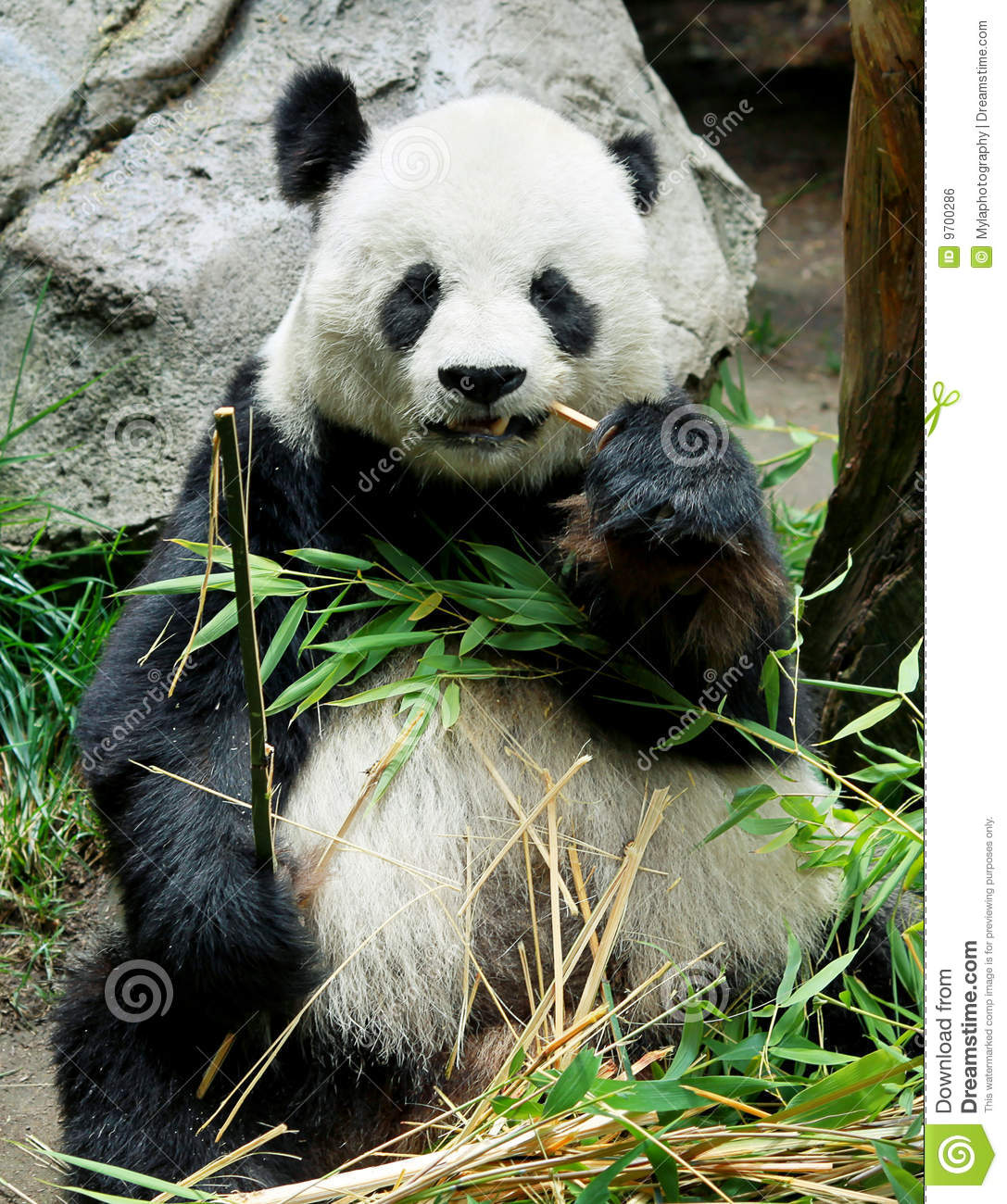Panda Bear Eating Royalty Free Stock Image Image 9700286