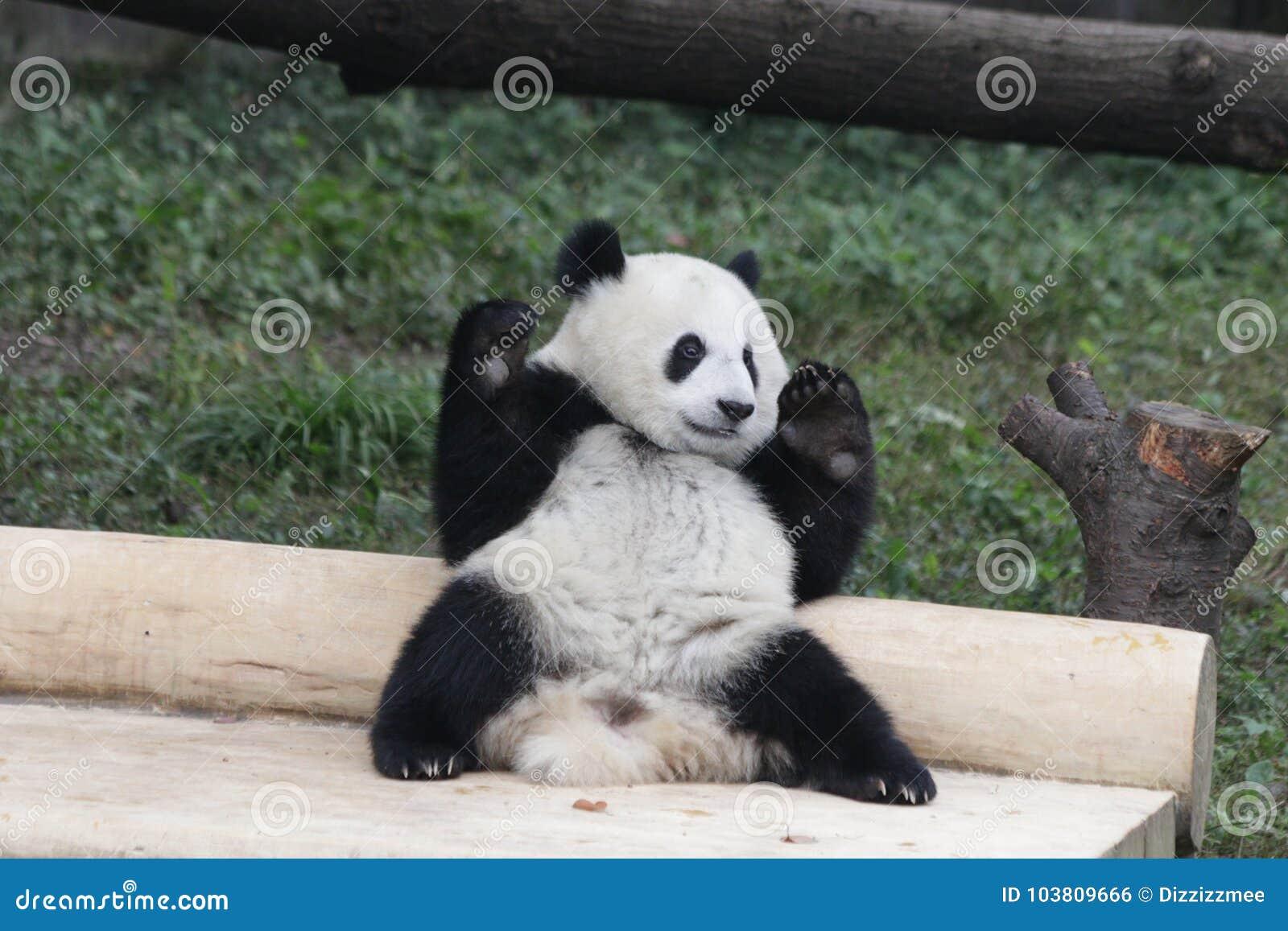 Panda Cubs juguetón en Chongqing, China