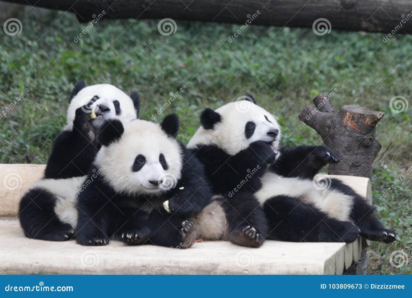 3 Panda Cubs juguetón en Chongqing, China
