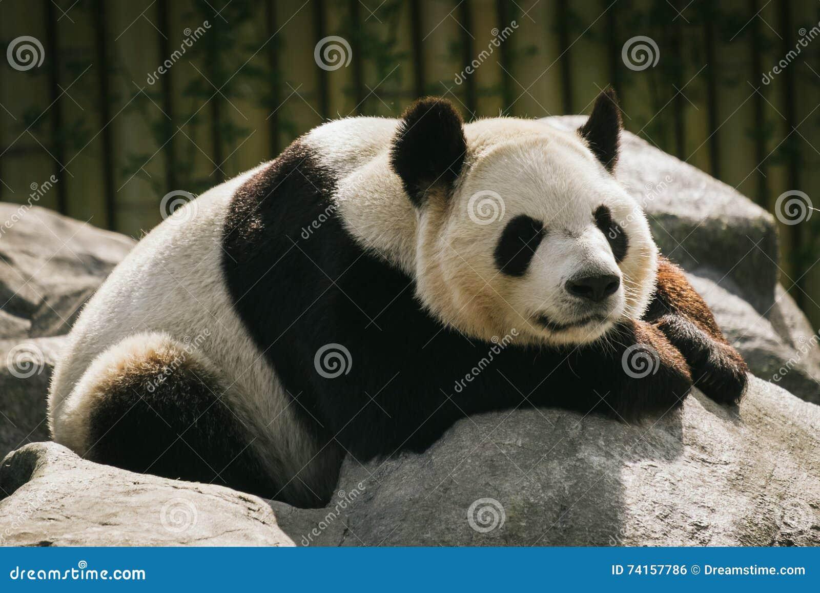 Panda da infiltração