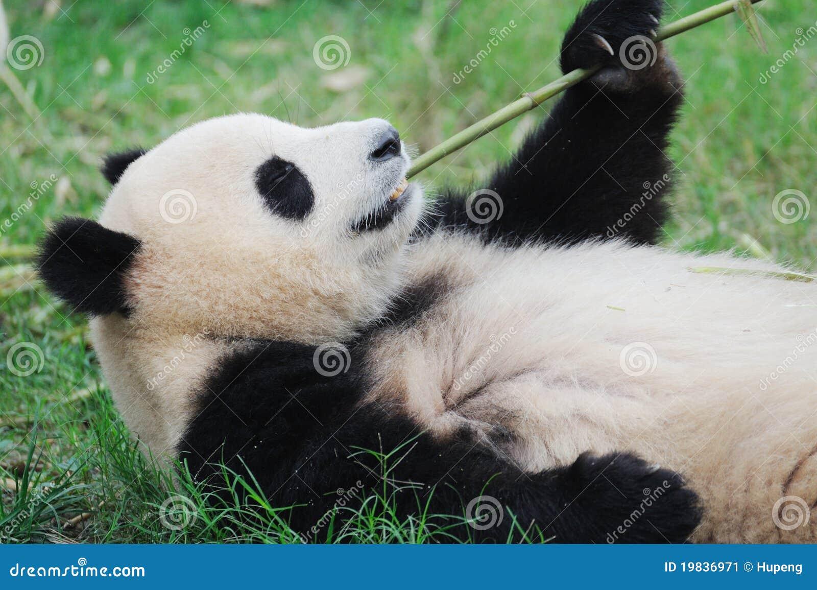 Panda Der Bambus Isst Stockbild Bild Von Haar Pandas 19836971