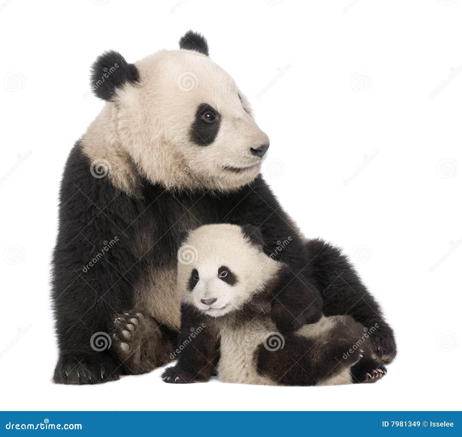 Panda för 18 jätte- melanoleucamånader för ailuropoda