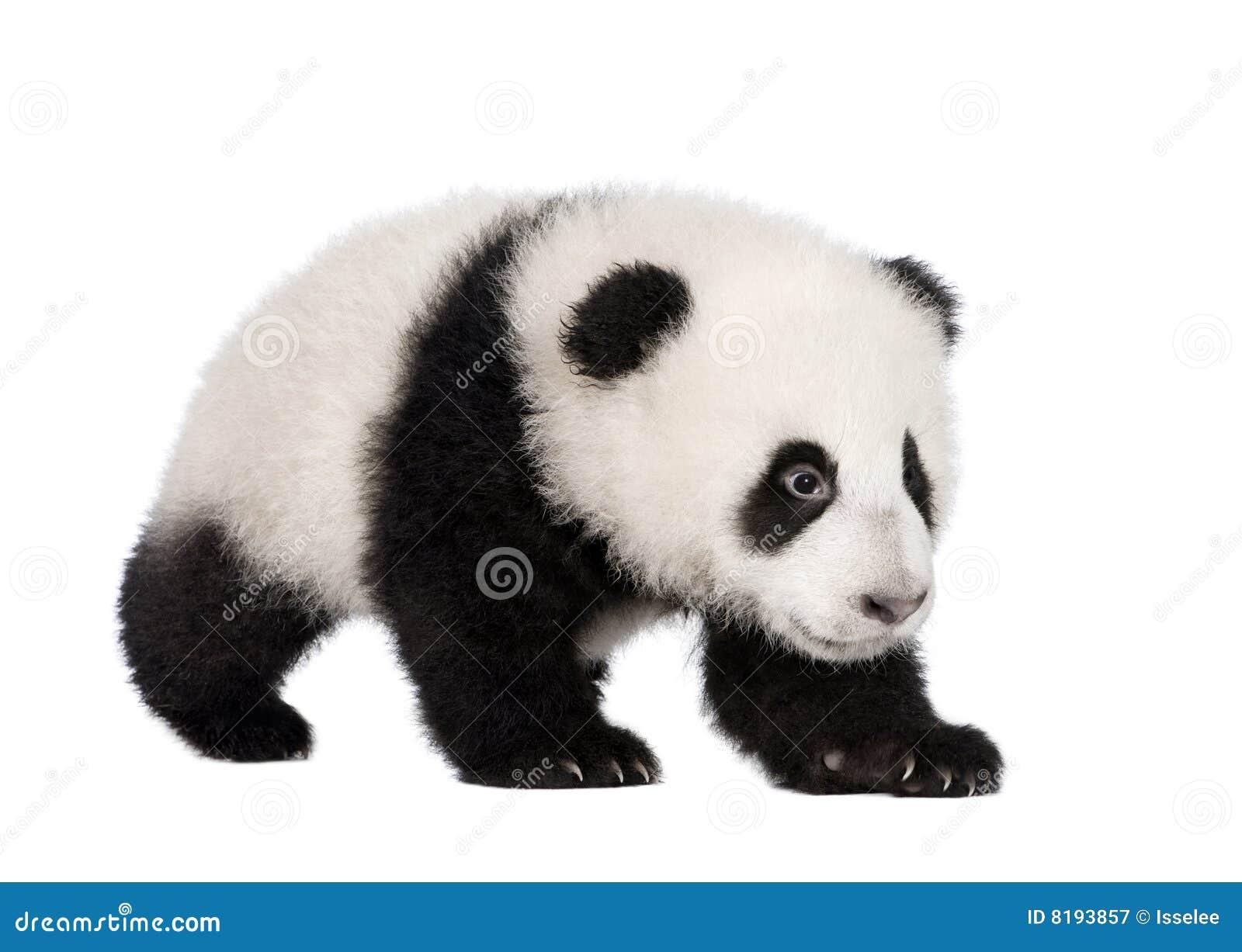 Panda för 4 jätte- melanoleucamånader för ailuropoda