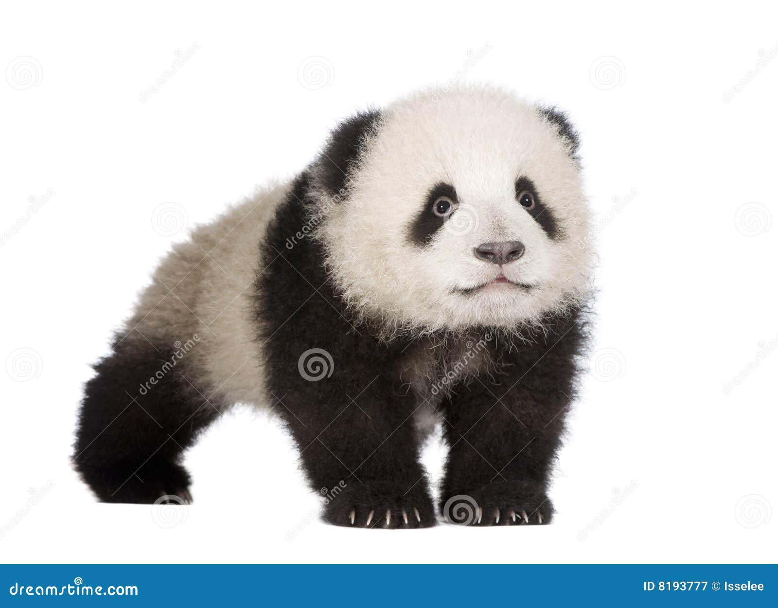 Panda för 6 jätte- melanoleucamånader för ailuropoda