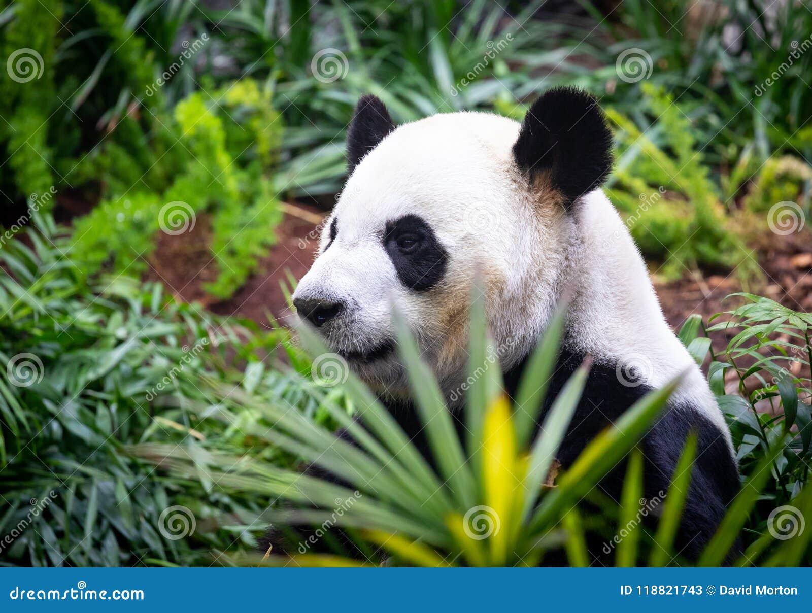 Panda géant dans l environnement de zoo