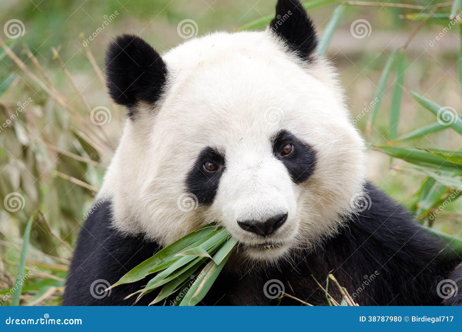 Panda géant mangeant le bambou, Chengdu, Chine