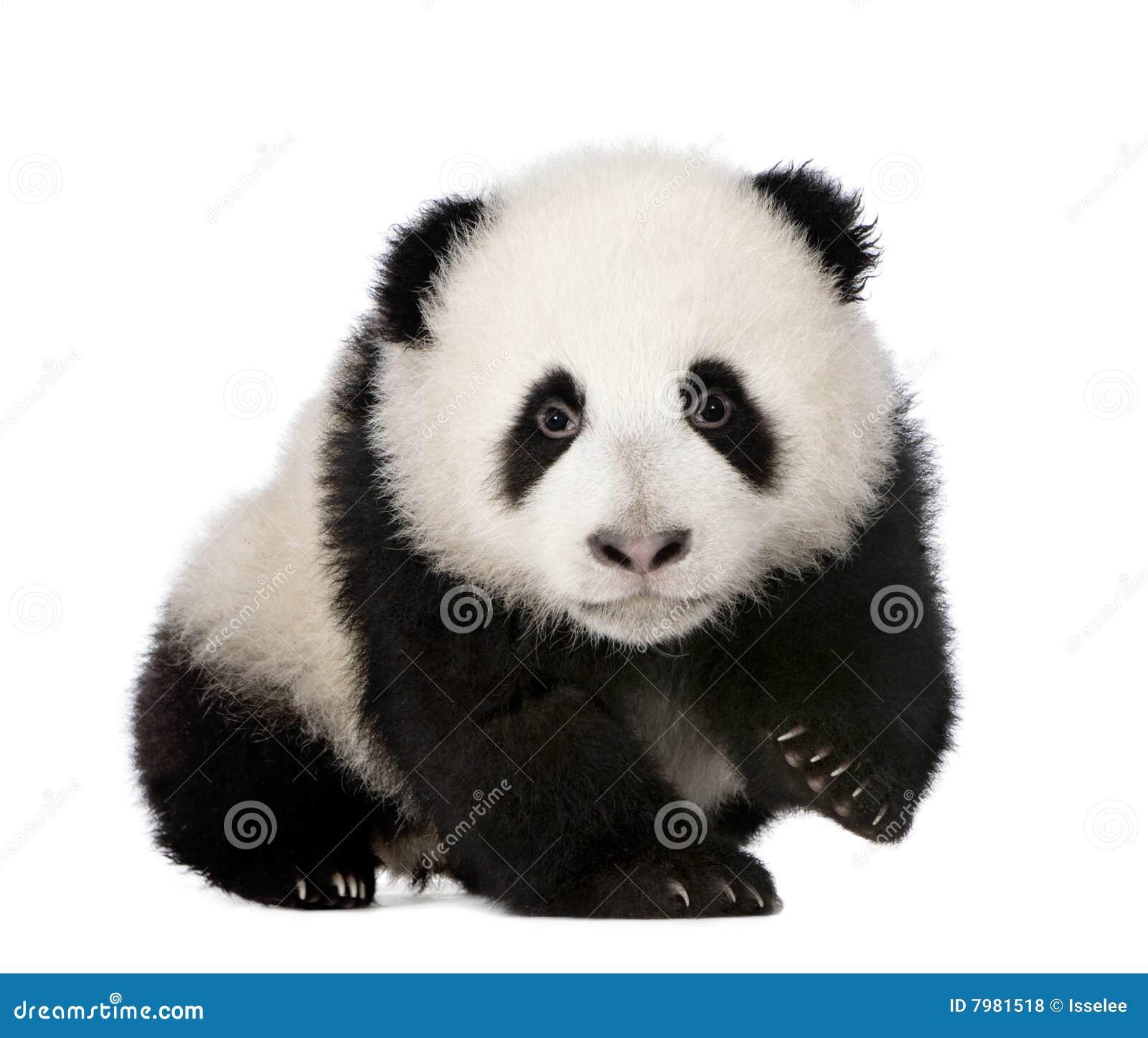 Panda gigante (4 meses) - melanoleuca do Ailuropoda
