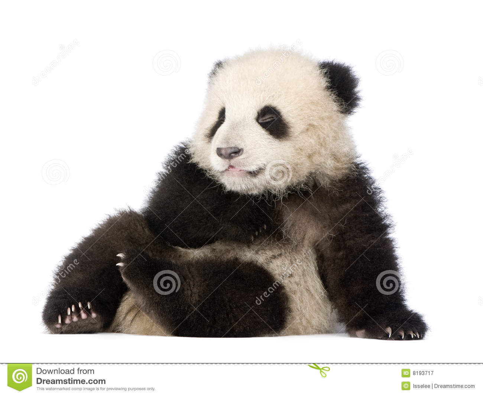 Panda gigante (6 meses) - melanoleuca do Ailuropoda