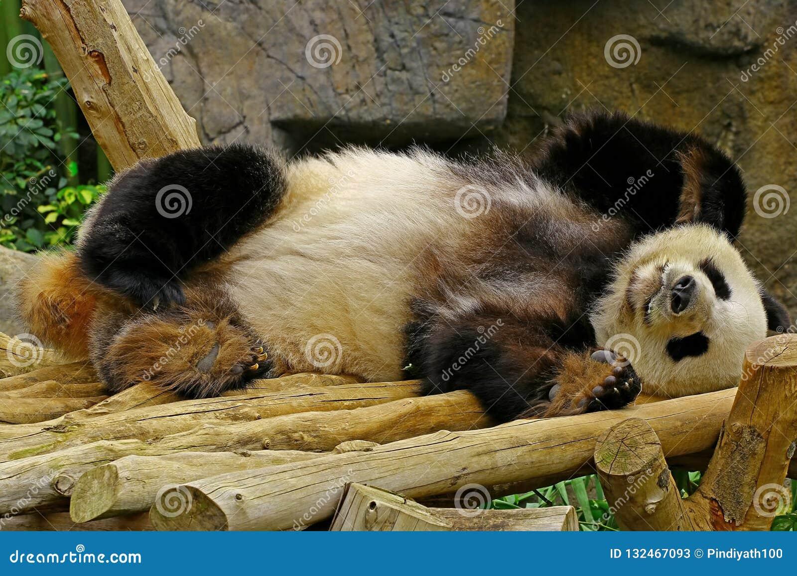 Panda gigante do sono