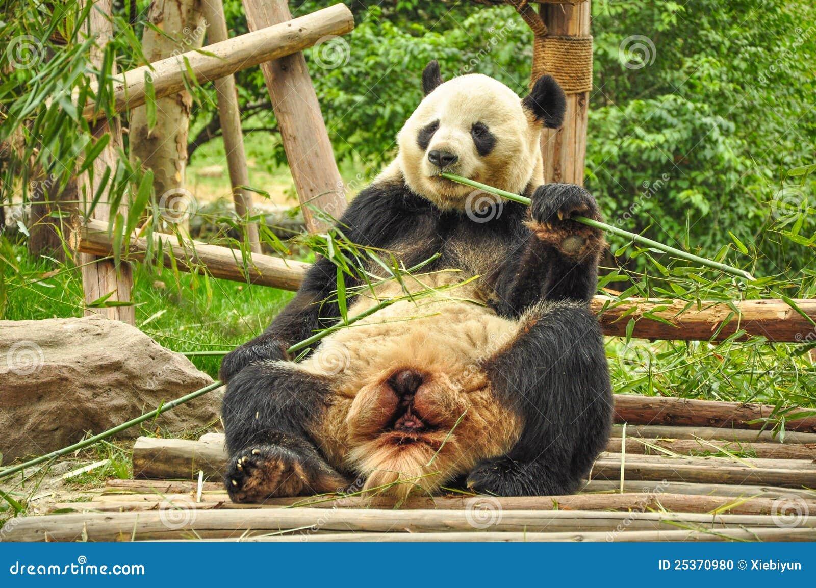 Panda Gigante Que Come O Bambu. Foto De Stock