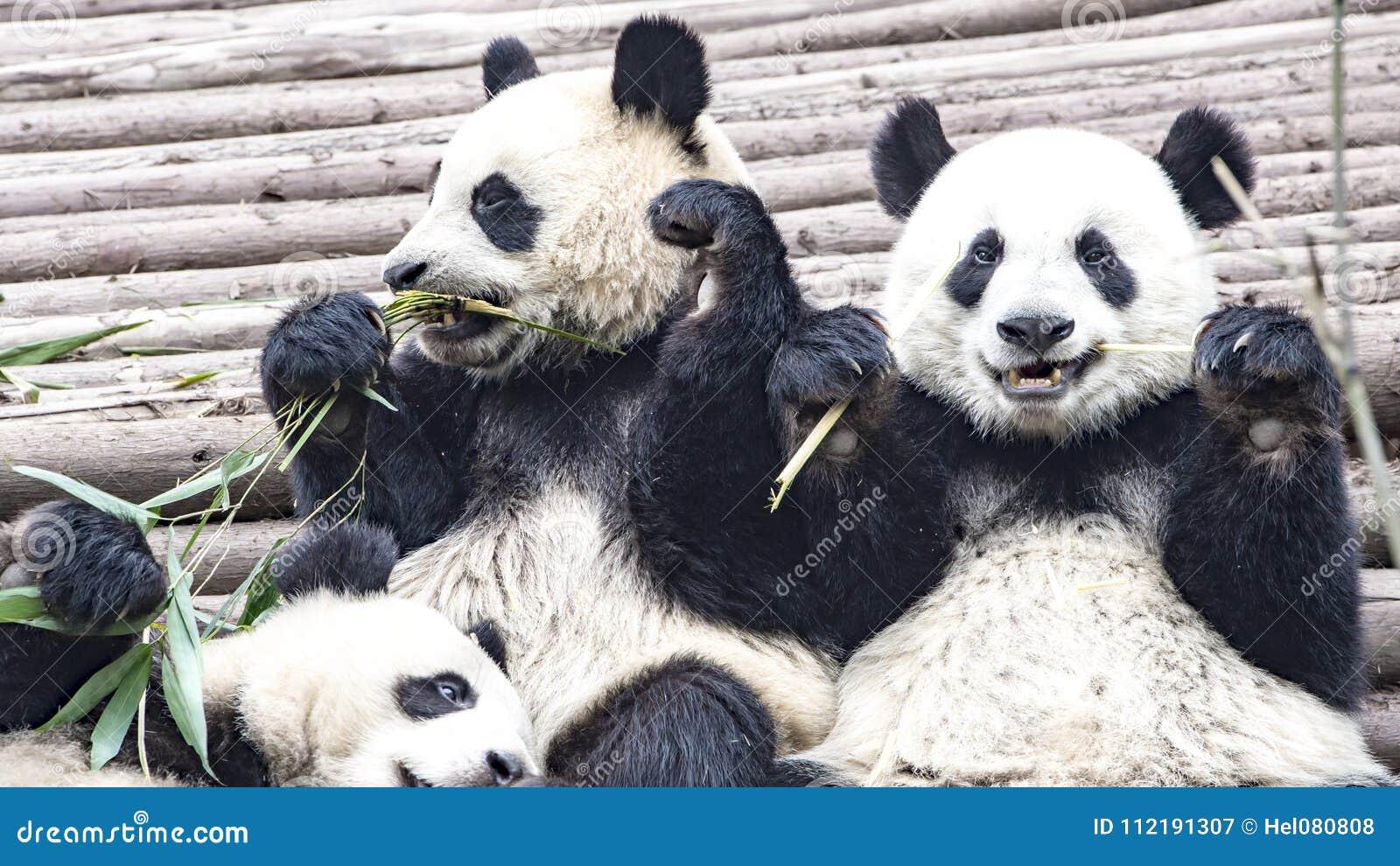 Panda niedźwiedź je bambusa, pandy Badawczy centrum Chengdu, Chiny