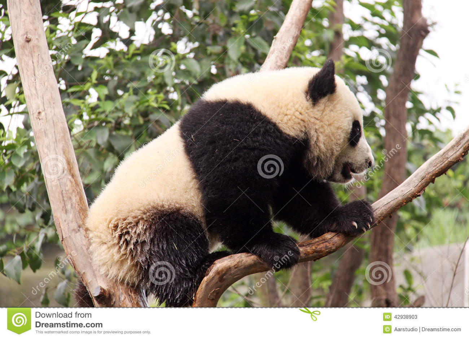 Panda på ett träd