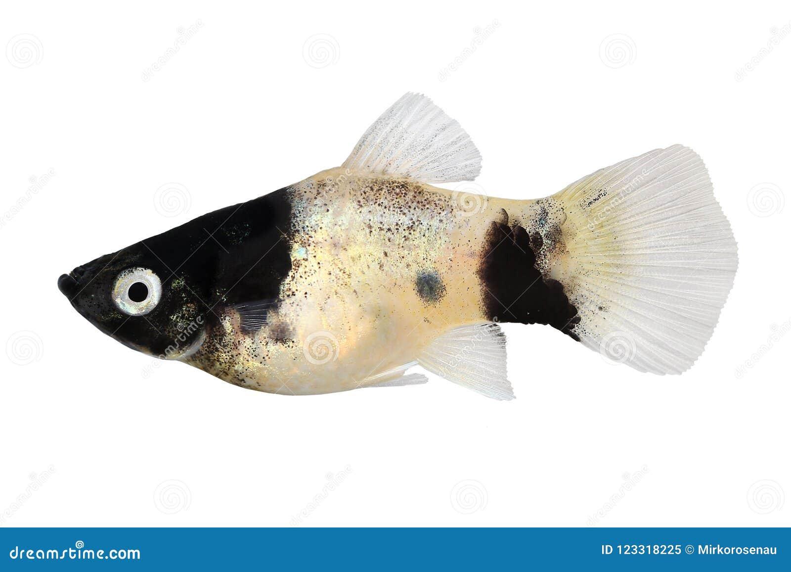 Panda Platy platy male Xiphophorus maculatus tropical aquarium fish
