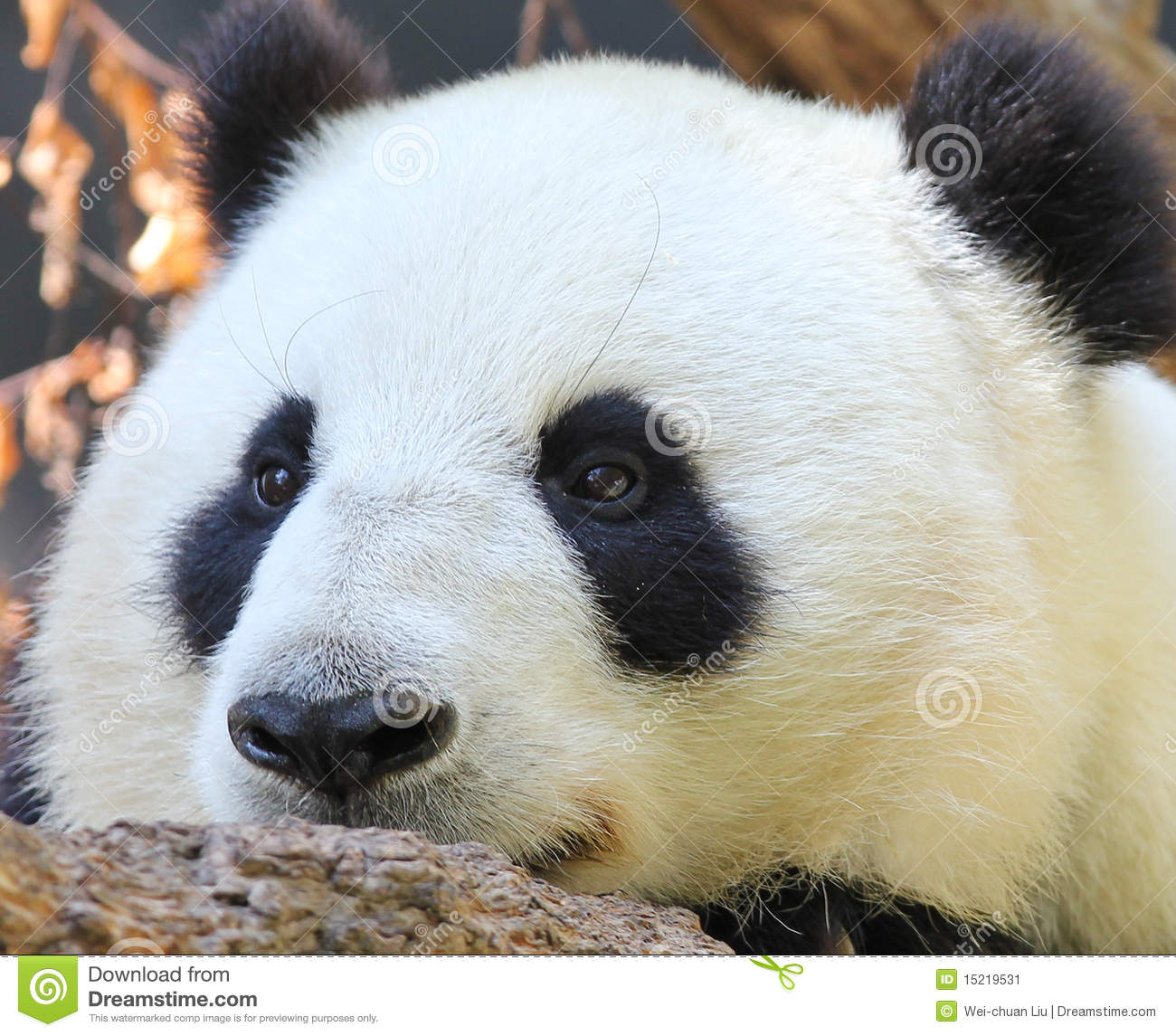 Download Panda portrait stock image. Image of park, cute, wildlife - 15219531