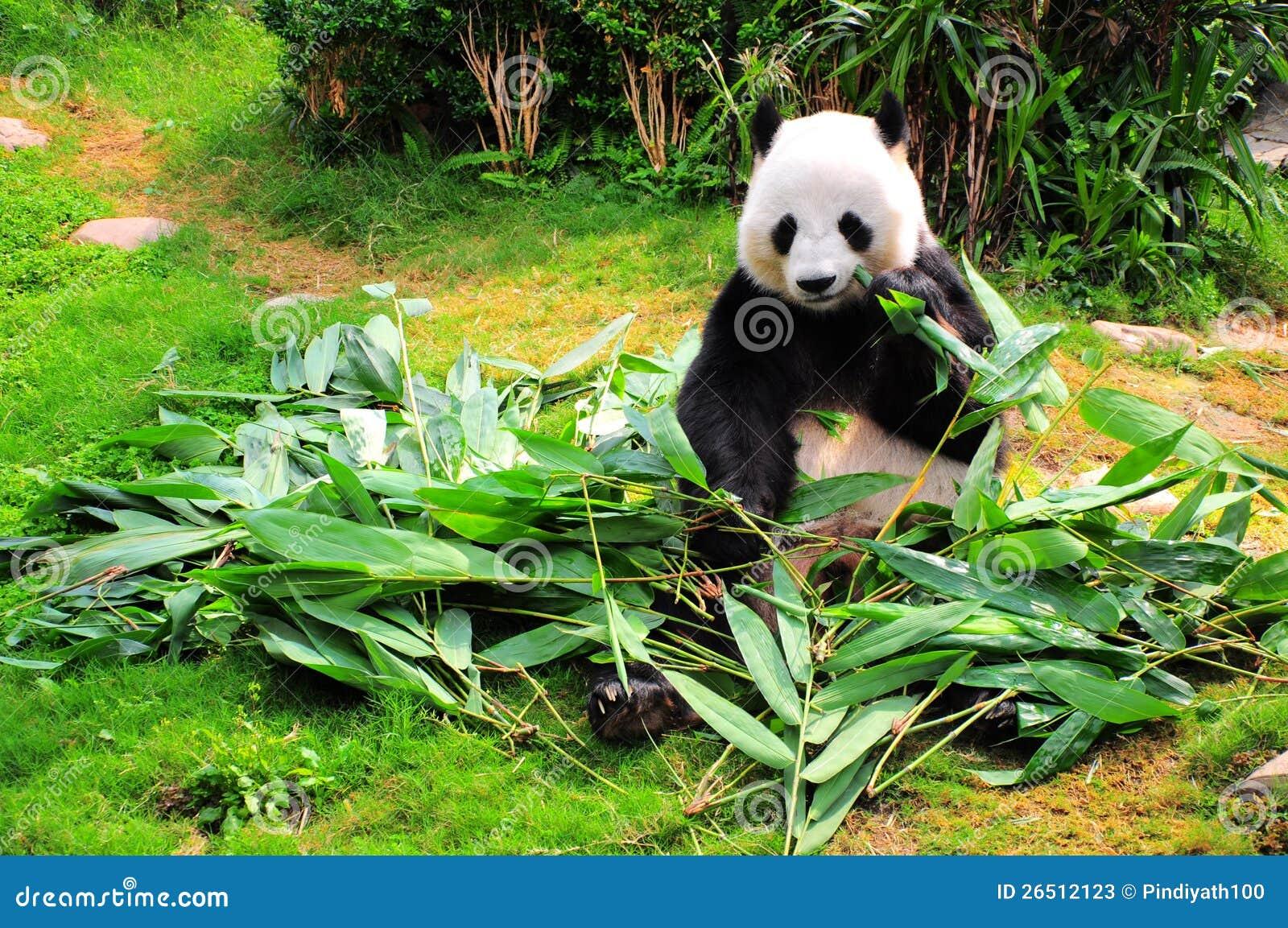 Panda que come las hojas del bambú