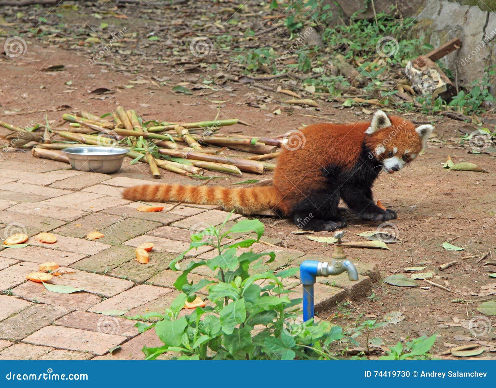 Panda roja en el parque de Chengdu