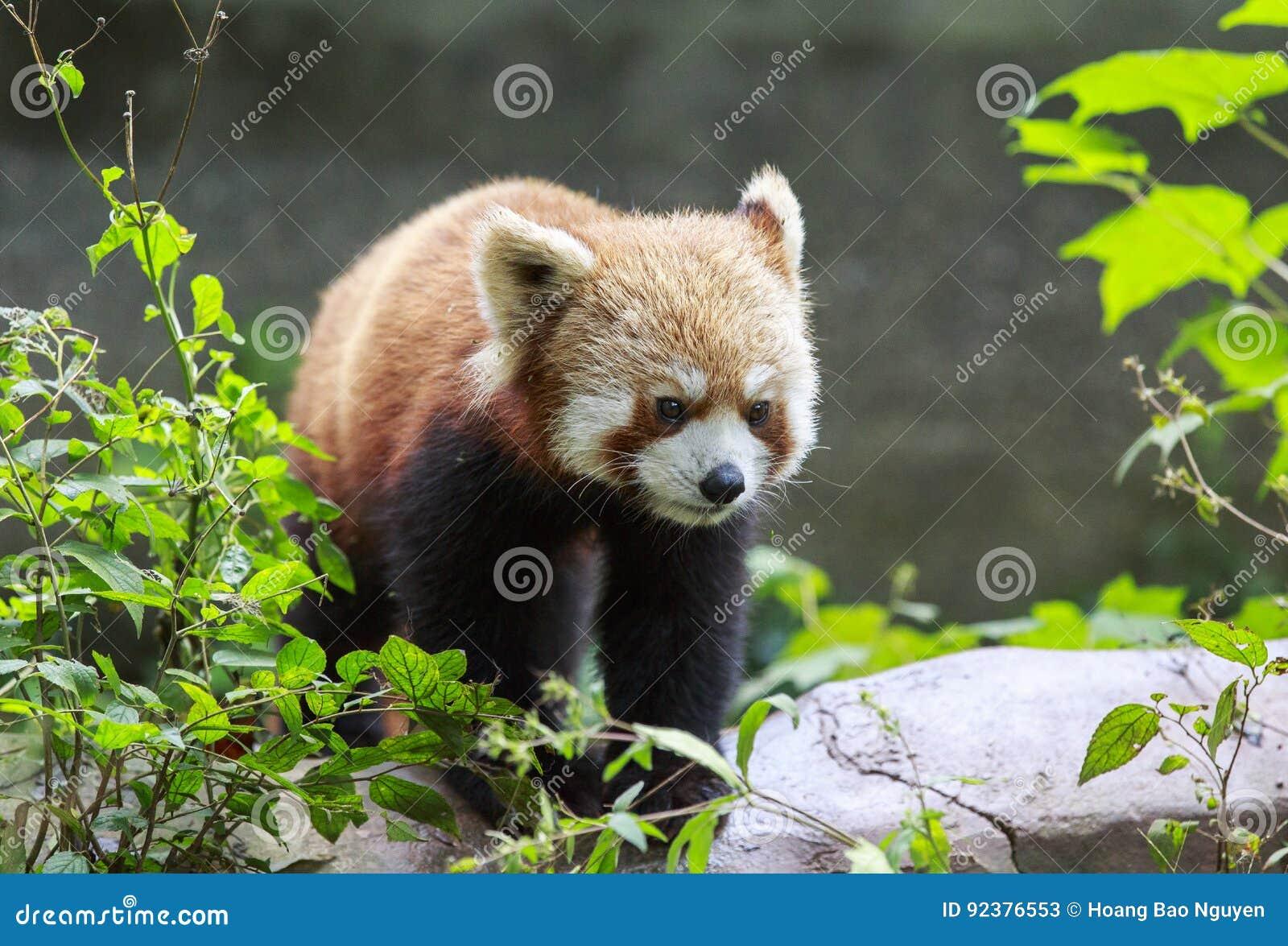 Panda roja en el parque zoológico en Chengdu, China