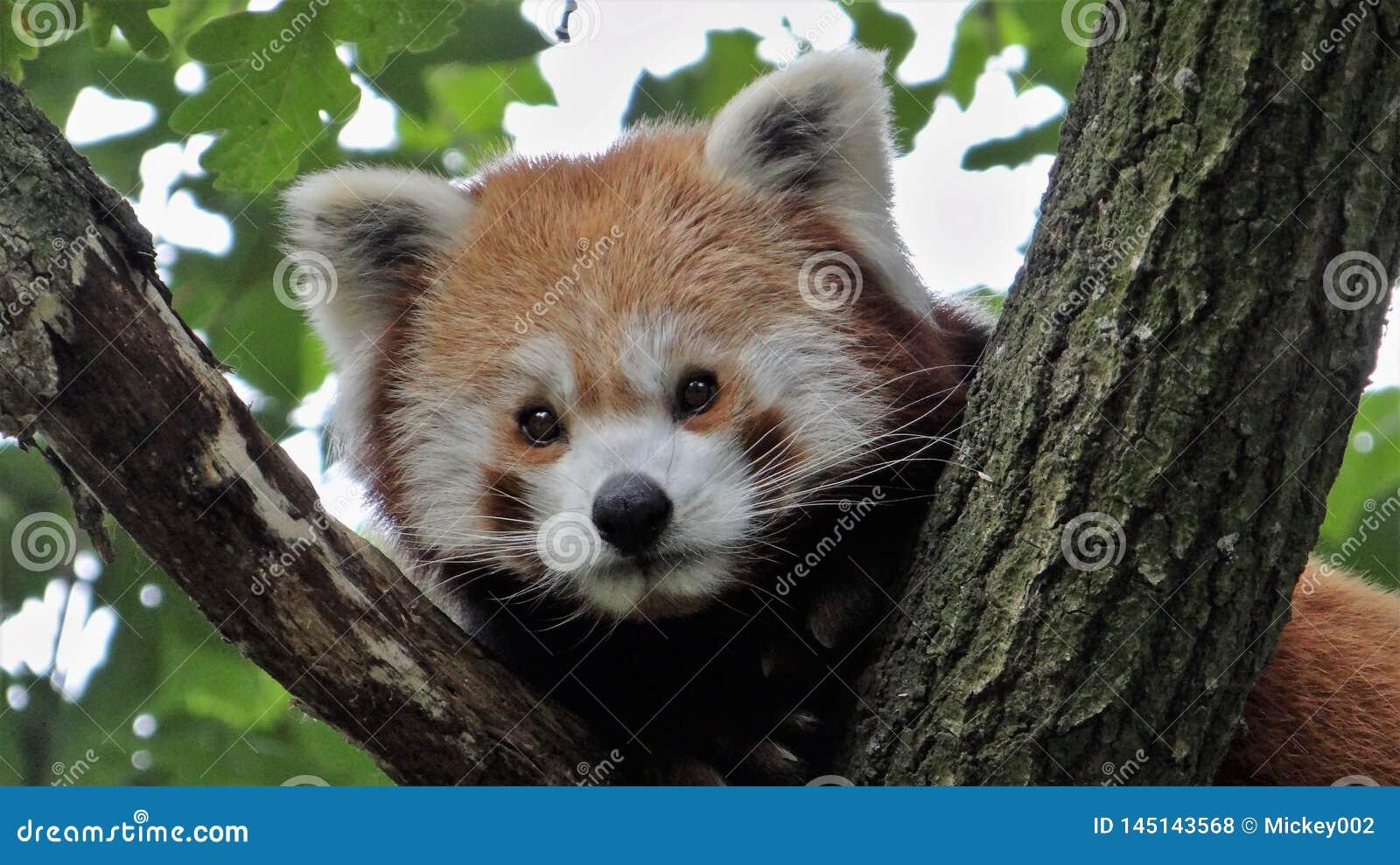 Panda roja en un retrato del árbol