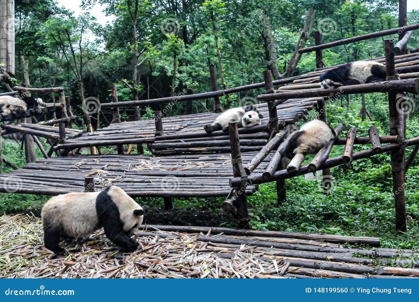 Panda som endast äter och sover