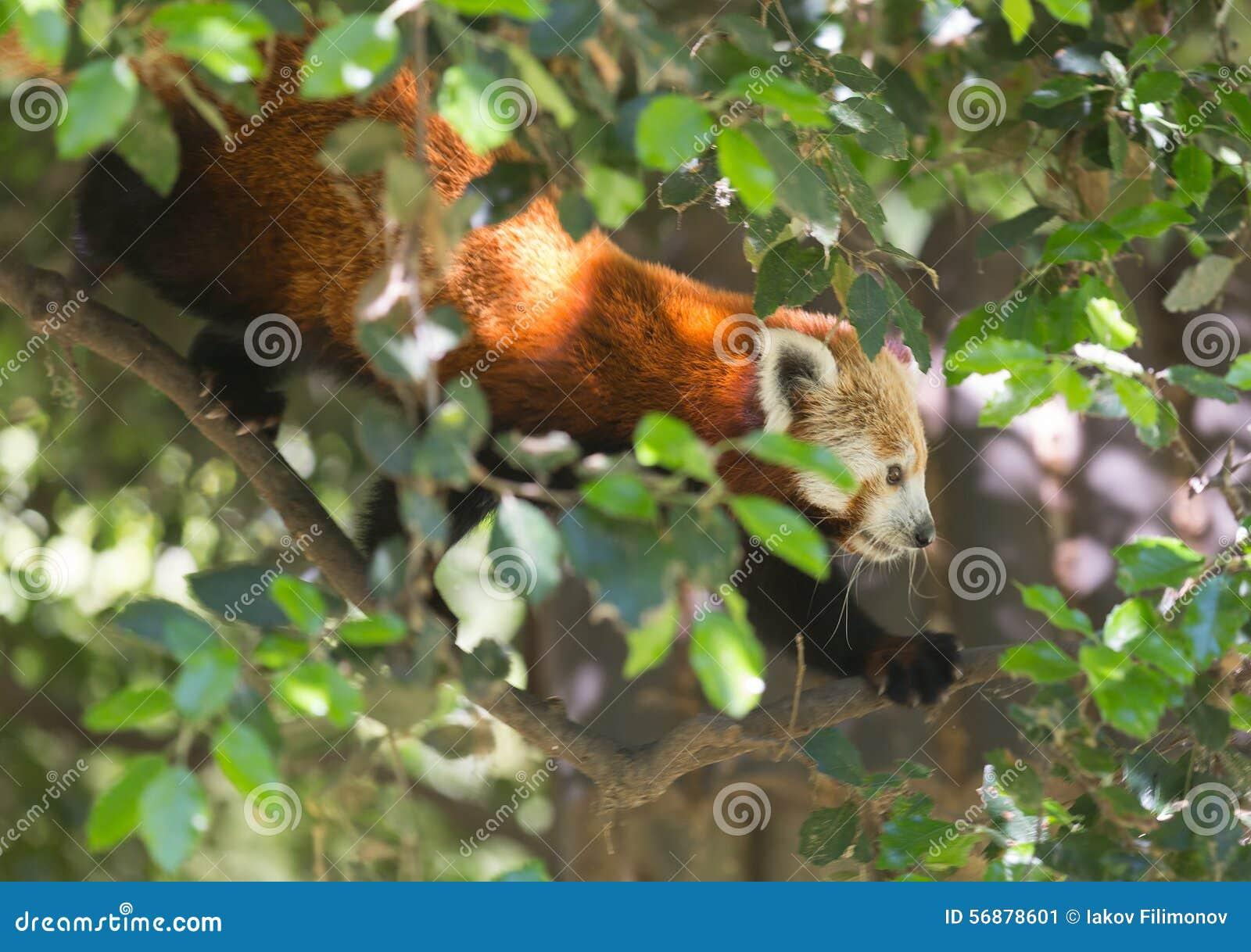 Panda On Tree rosso