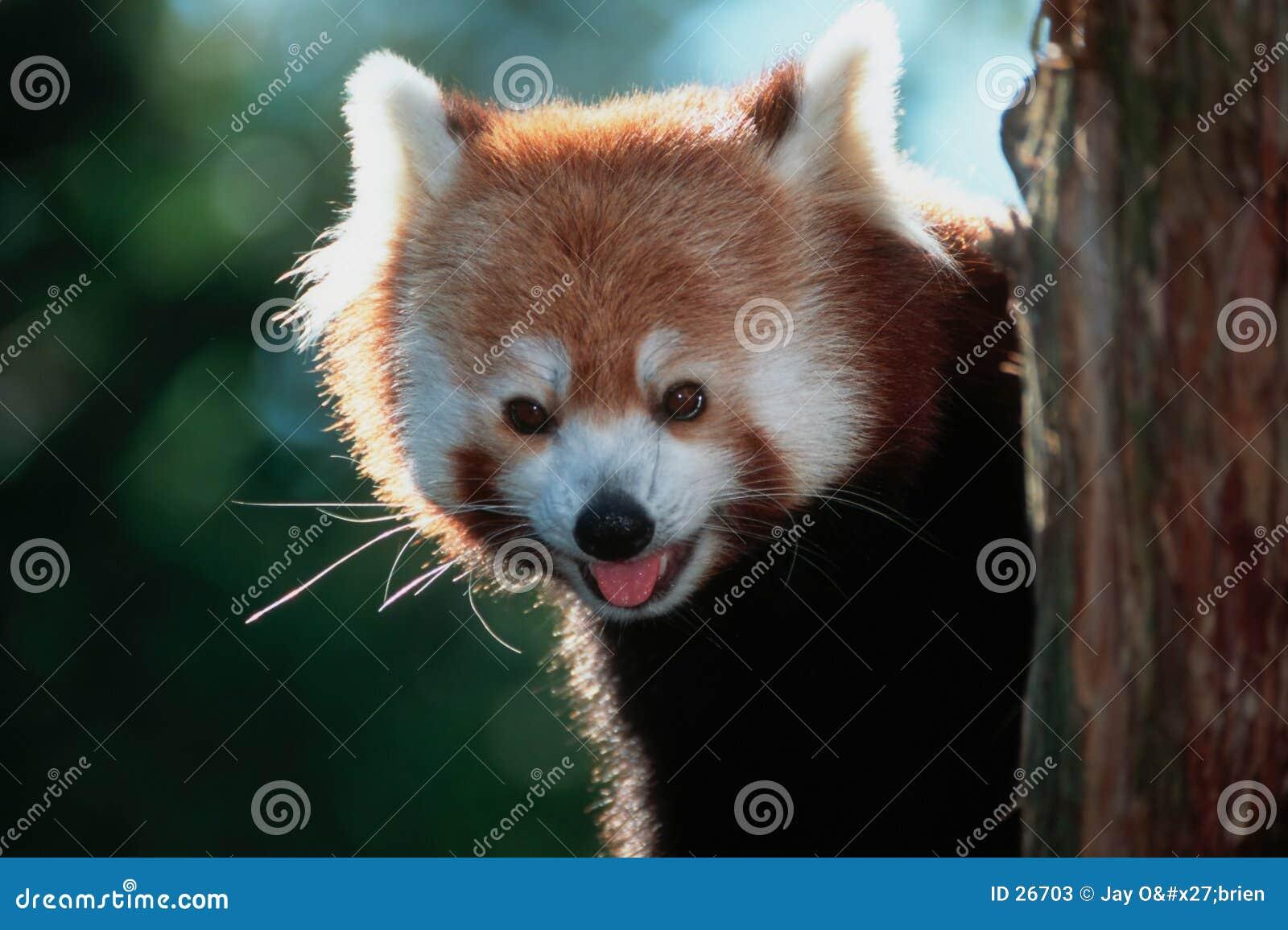 Panda vermelha