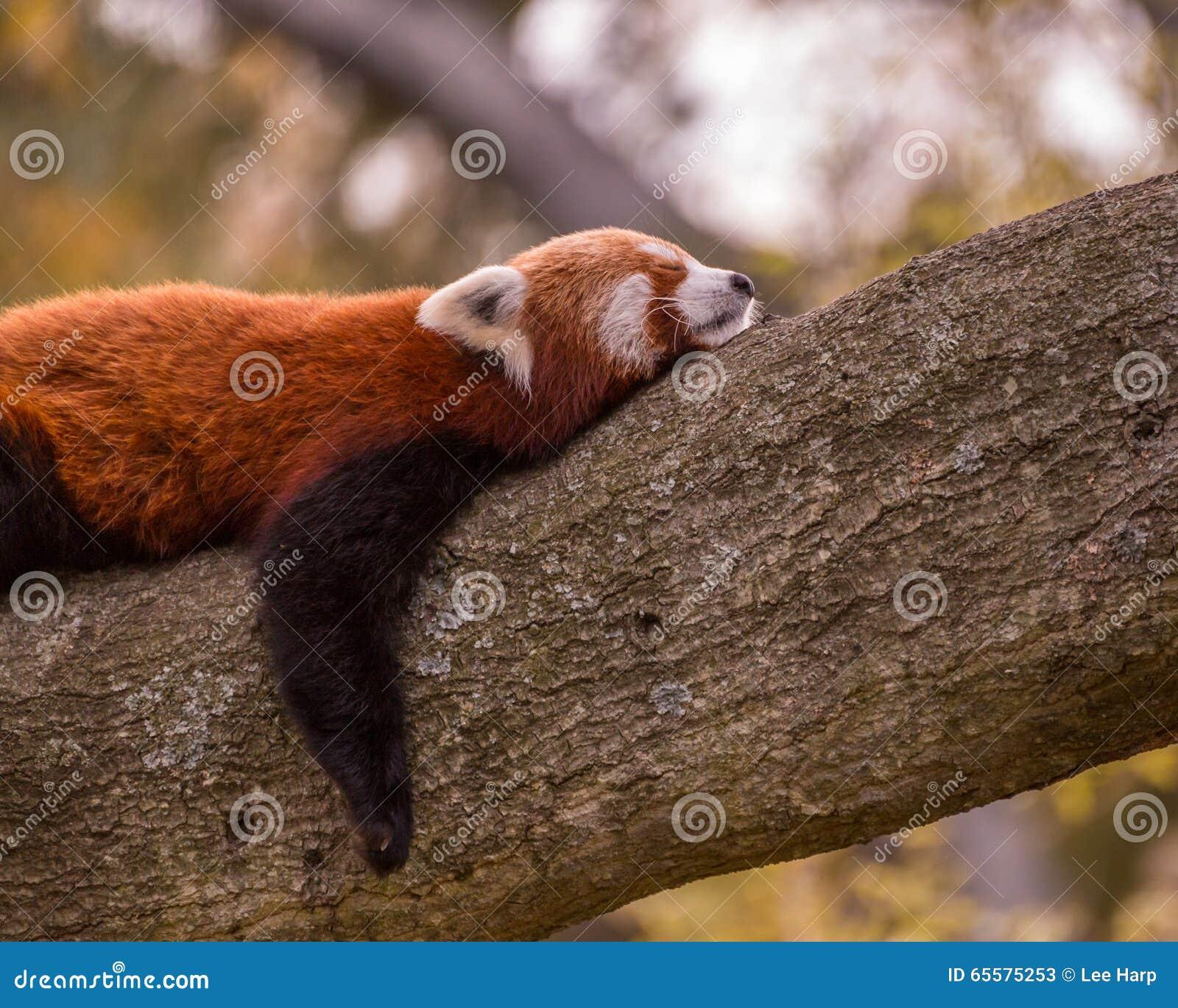 Panda vermelha do sono