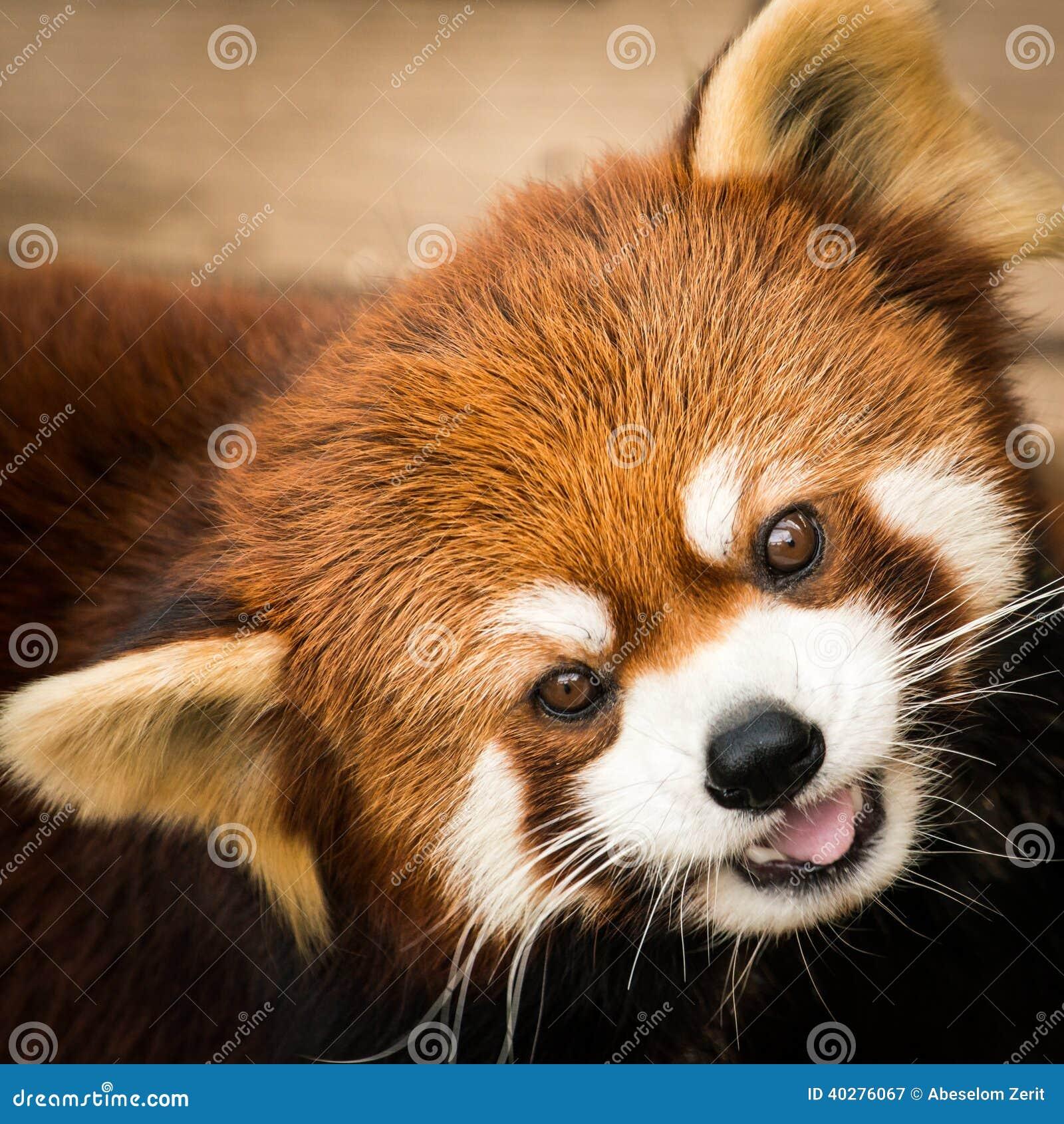 Panda vermelha III