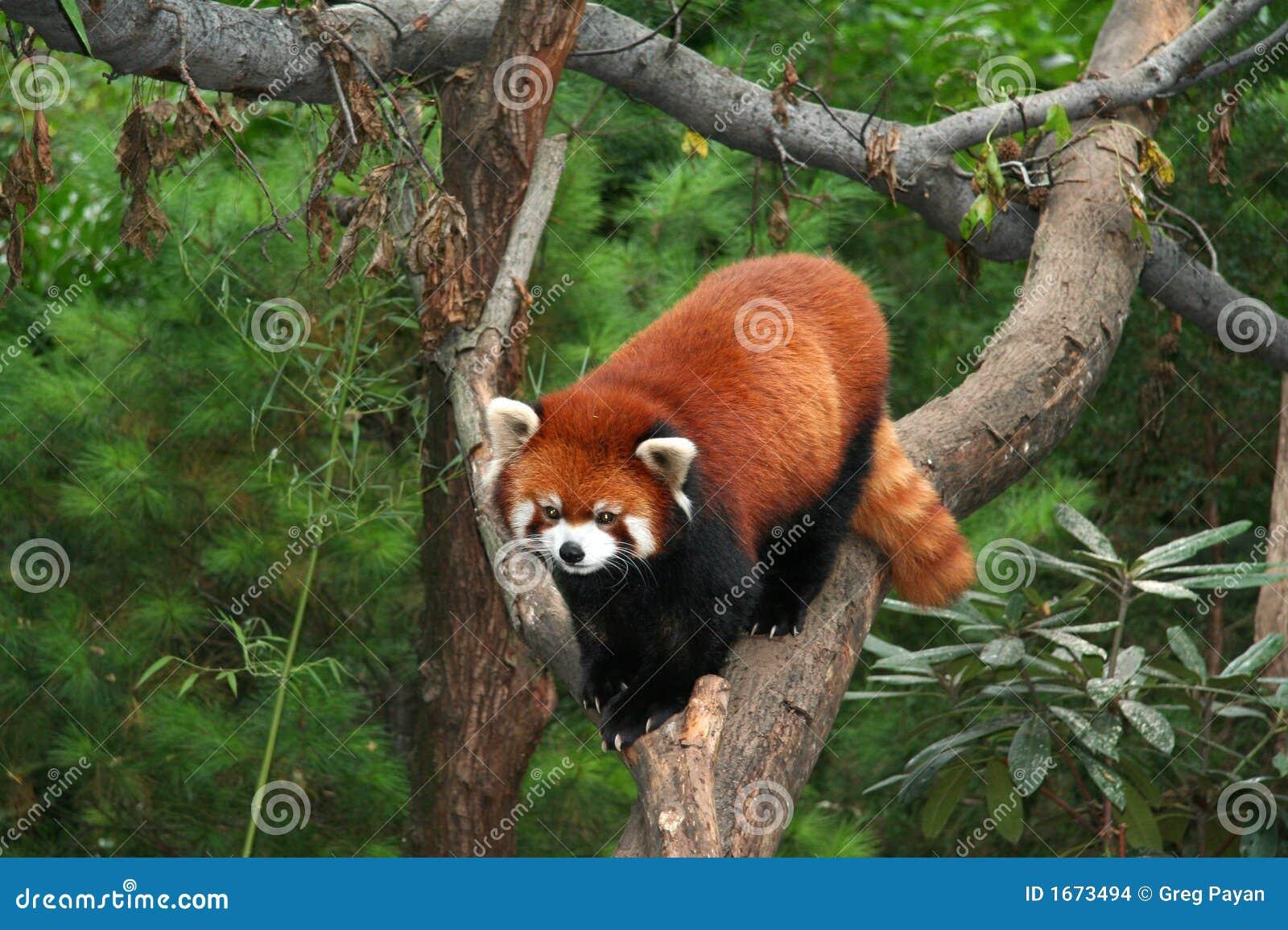 Panda vermelha no jardim zoológico