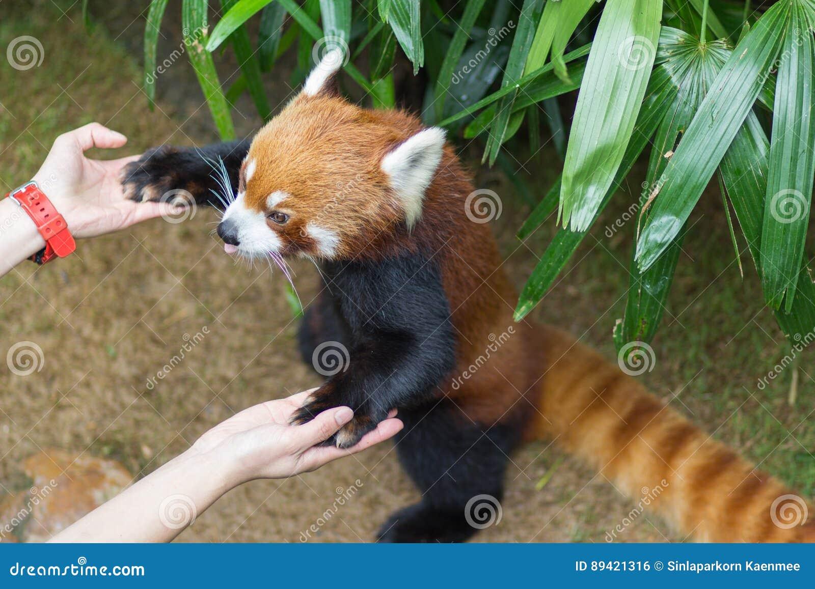 Panda vermelha ou Lesser Panda, Firefox que senta-se no ramo