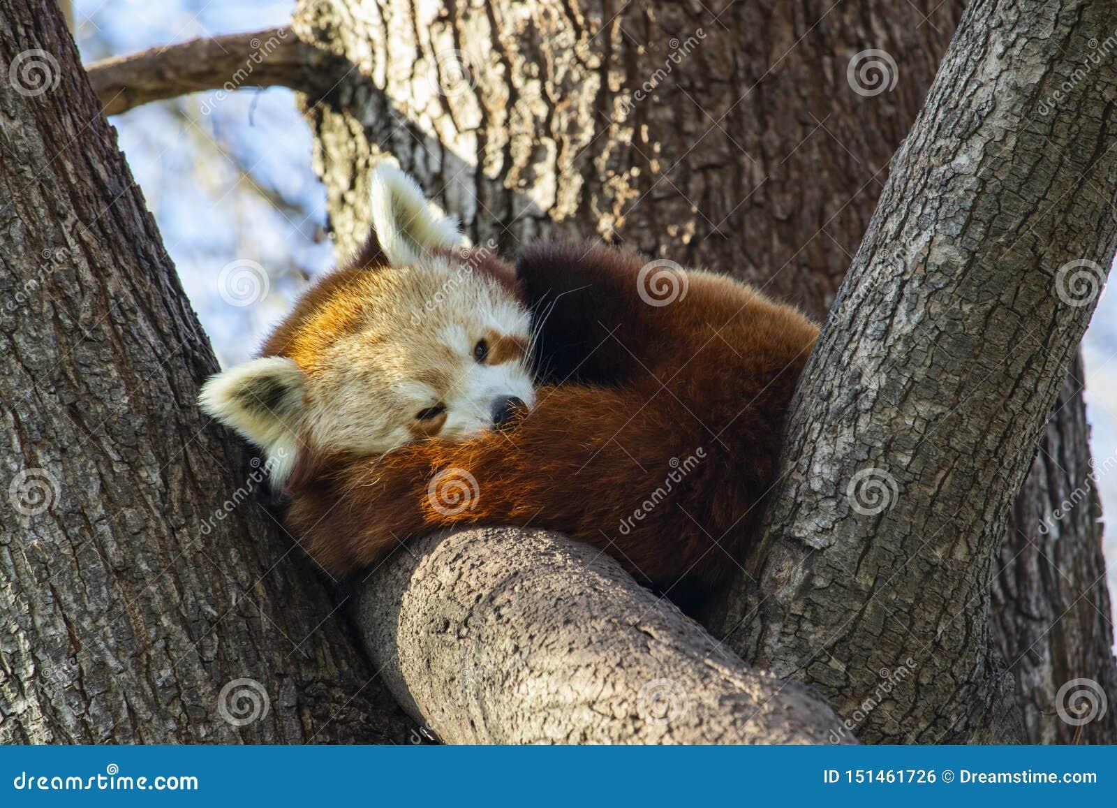Panda vermelha que dorme em uma ?rvore