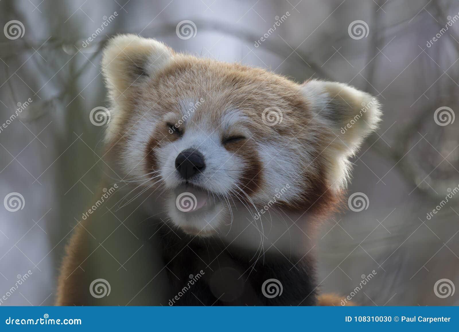 Panda vermelha, urso, sentando-se no fim da árvore acima e no retrato ao rir ou ao lamber o ar