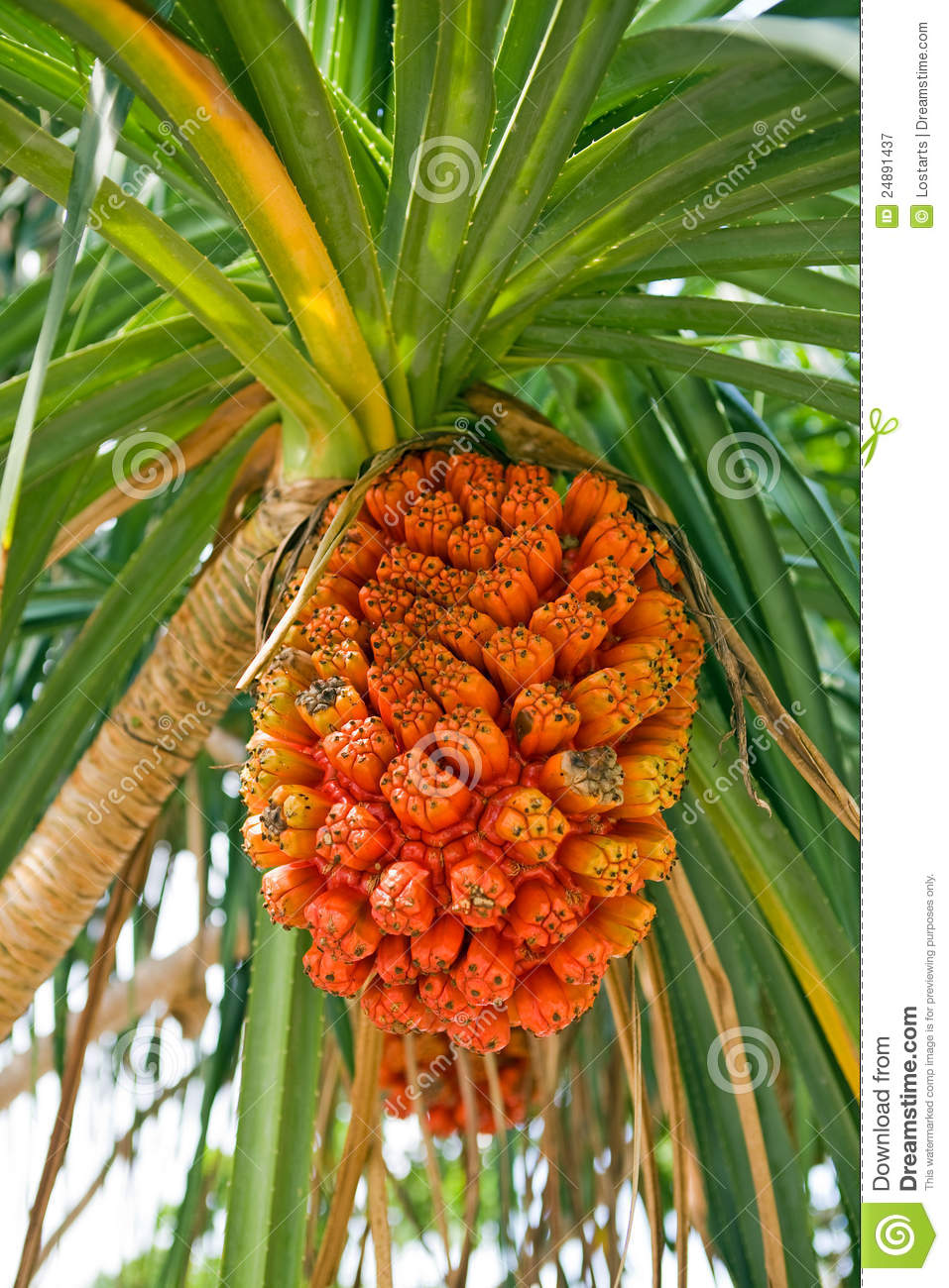 Stock Photo: Pandanus Fruit - Screwpine. Image: