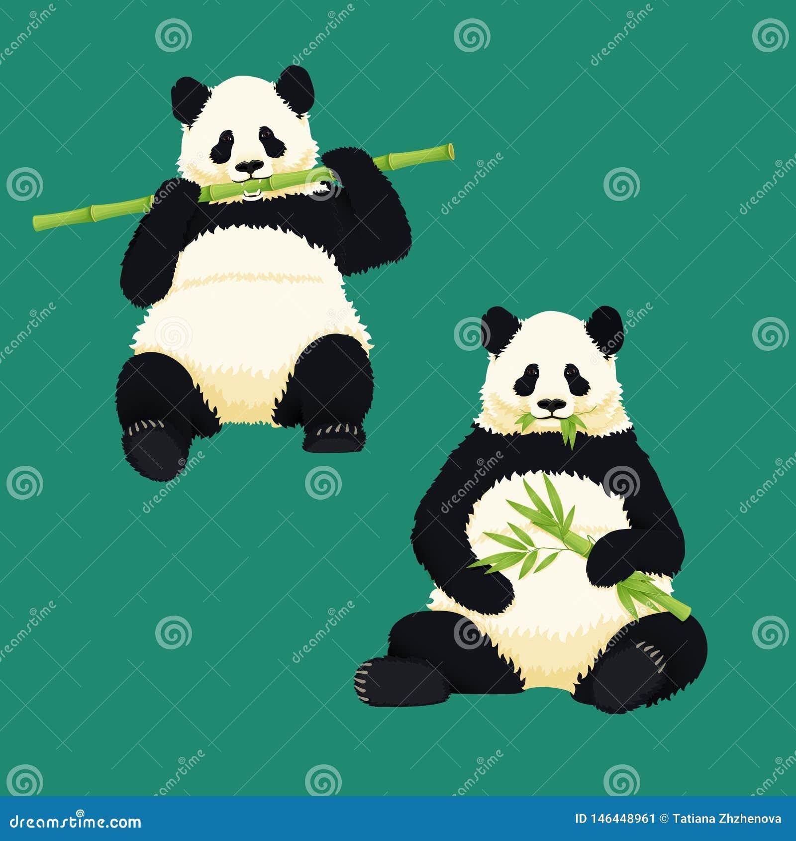 Pandas géants se reposant et mangeant Ours noir et blanc tenant et m?chant les branches et les feuilles en bambou Esp?ces en voie