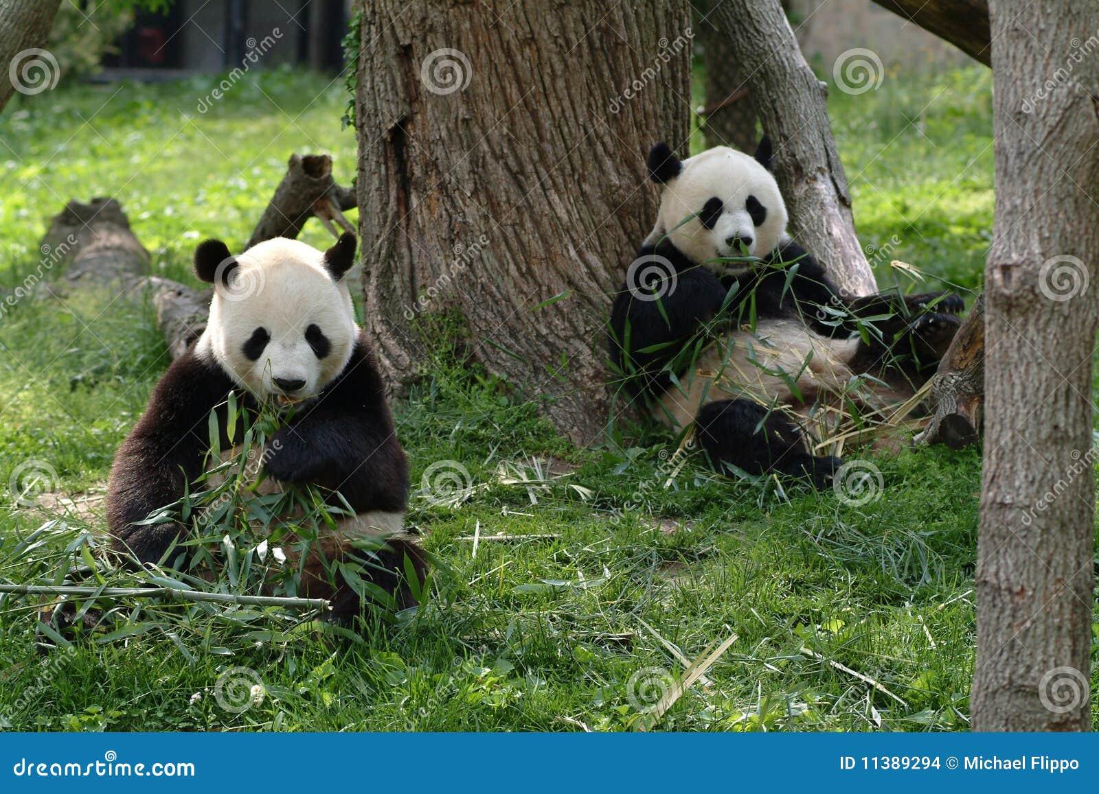 Pandas gigantes en un campo